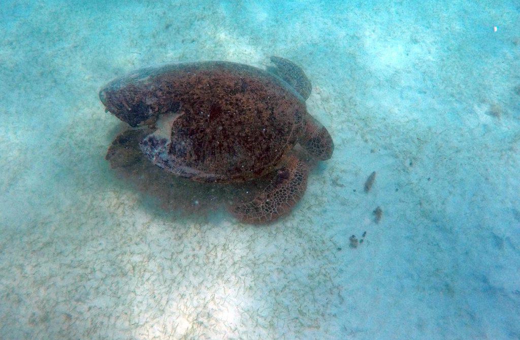 Schlechte Sicht durch aufgewühltes Wasser, so sahen wir die Schildkröte, die so ca. 70 cm gemessen hat